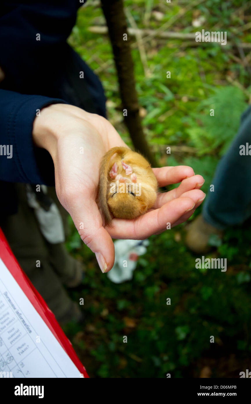A Hazel Dormouse being weighed and measured for a conservation project, England, UK. - Stock Image