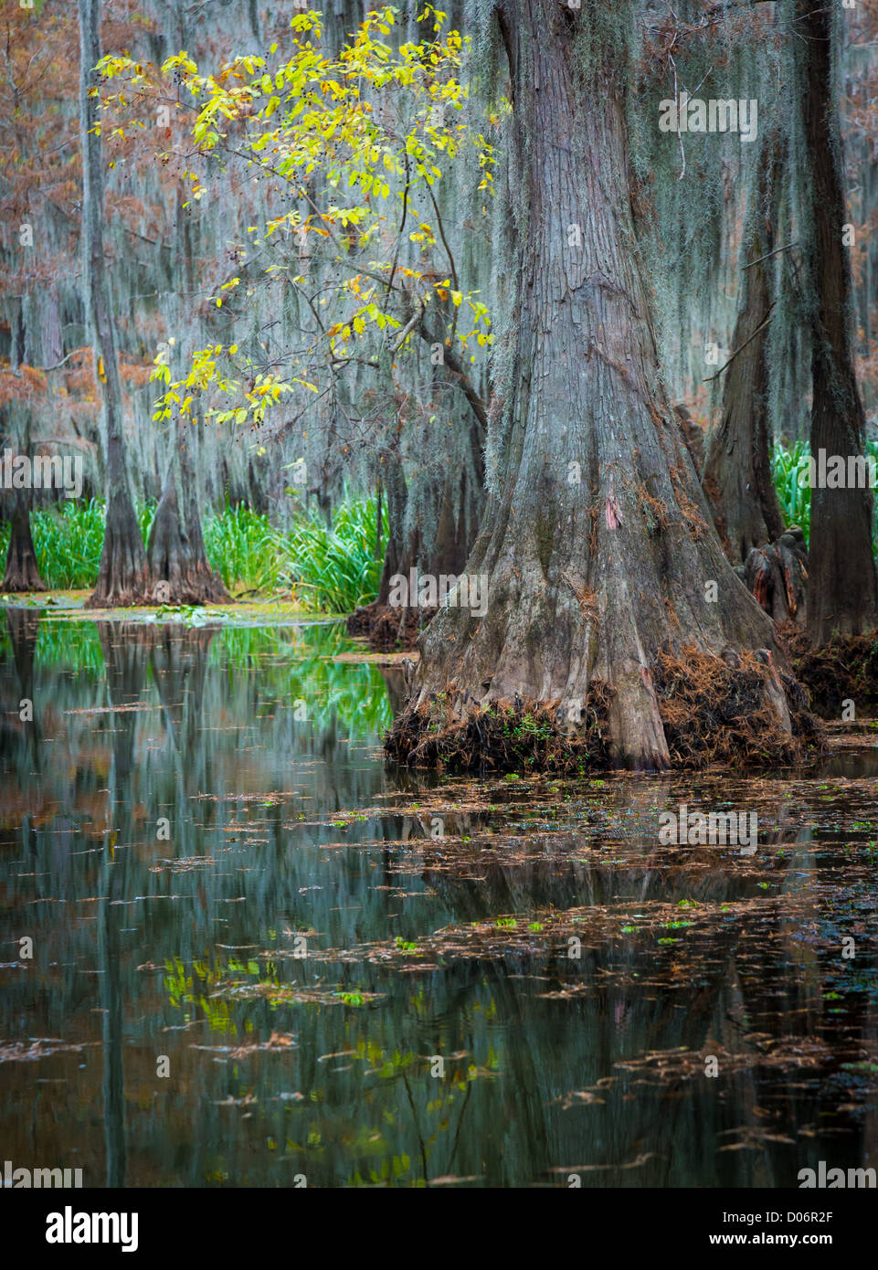 Cypress trees in Caddo Lake State Park, Texas - Stock Image