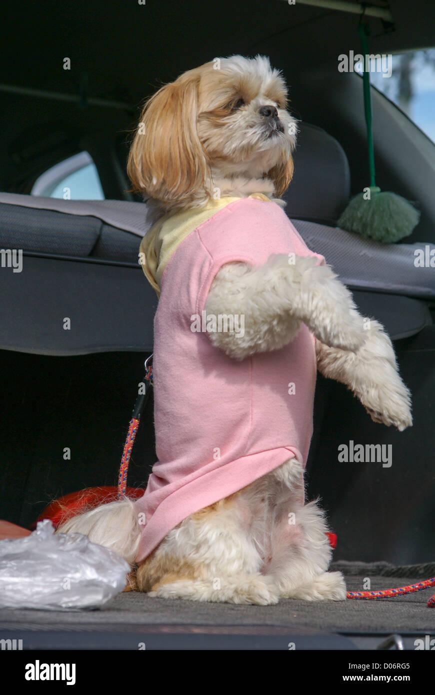 Japan, Dressed up lap dog - Stock Image