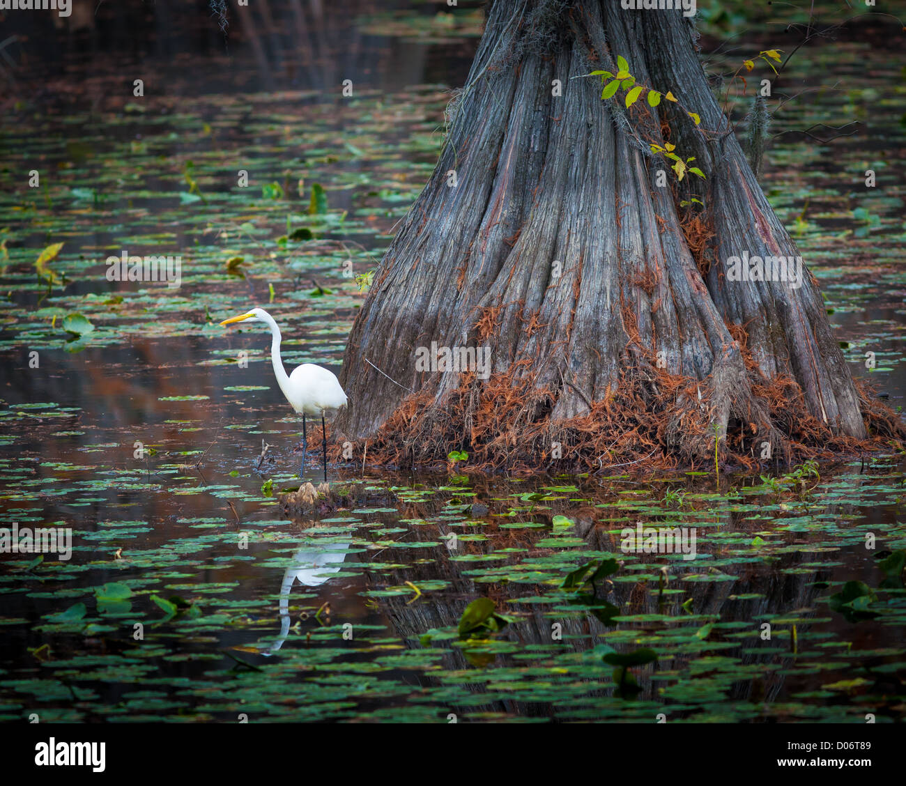 Egret on cypress tree at Caddo Lake State Park in east Texas - Stock Image