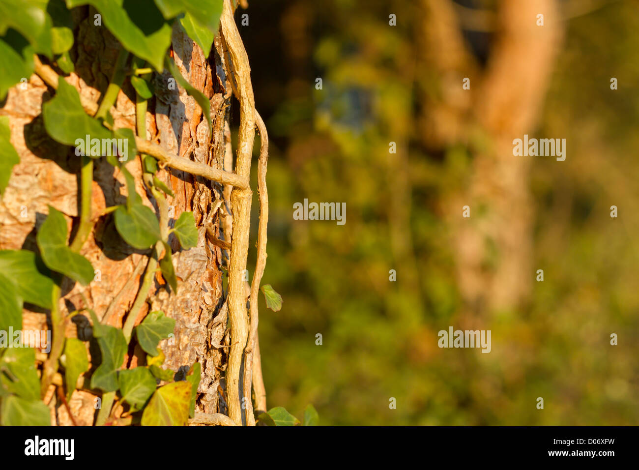 Close up of ivy roots on tree trunk. - Stock Image