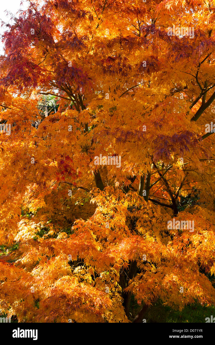 Acer Palmatum Seiryu dissectum in it's autumn colours of orange / red - Stock Image