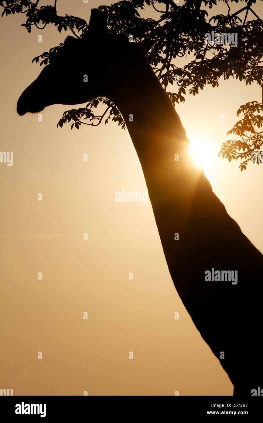 Giraffe in silhouette  Giraffa camelopardalis Mikumi Game reserve . Southern Tanzania. Africa - Stock Image