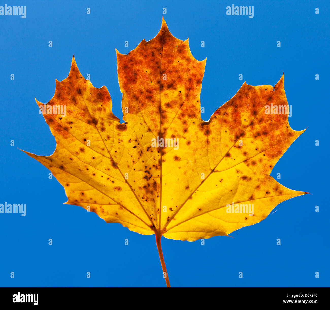 Autumn Sycamore Leaf close up against blue sky - Stock Image