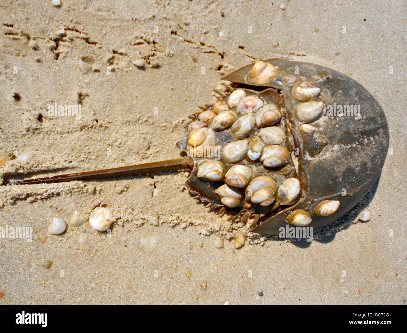 Horseshoe crab with snails (Crepidula) attached to its shell. Photo taken near Villas, New Jersey, on Delaware Bay. - Stock Image