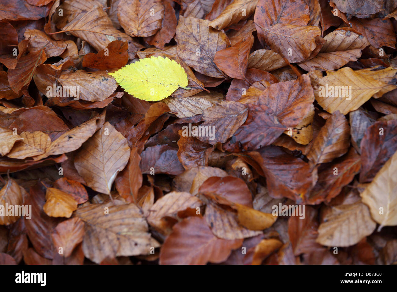 Autumn leaves, contrasting yellow and rust, Suffolk, Landscape, UK - Stock Image
