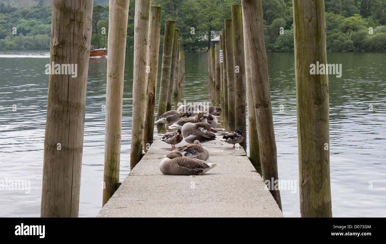 Ducks on the mooring pier at Derwentwater, near Keswick, Lake District,. England. - Stock Image