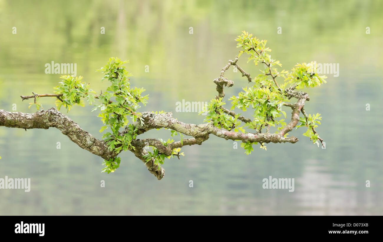 The branch of a hawthorn tree with new green leaves, set against the water of a lake. Stock Photo