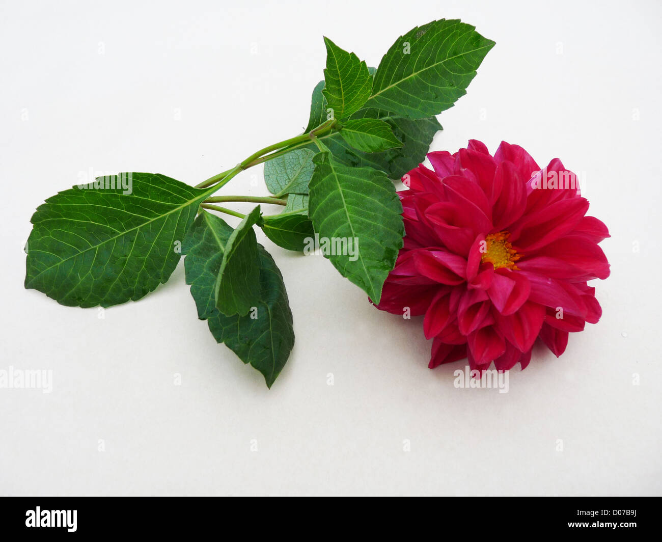 flower; dahlia; one magenta; red; green; leaves; autumn; plants; flora; composition; gift; greeting; isolated; light - Stock Image
