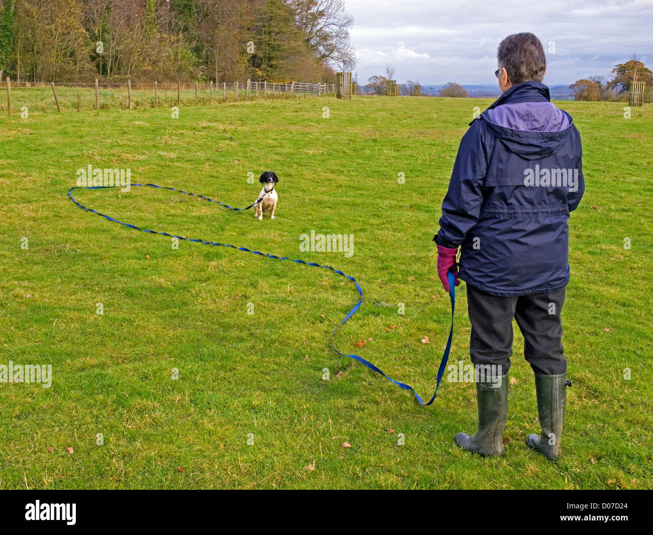 woman training a young springer spaniel on long training lead - Stock Image