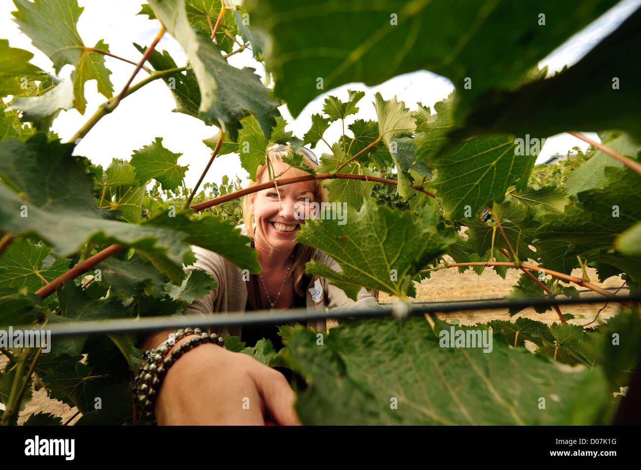 USA Washington Outlook Rattlesnake Hills AVA. Volunteer picker harvests Chenin Blanc grapes from Tefft Cellars main vineyard & USA Washington Outlook Rattlesnake Hills AVA. Volunteer picker ...