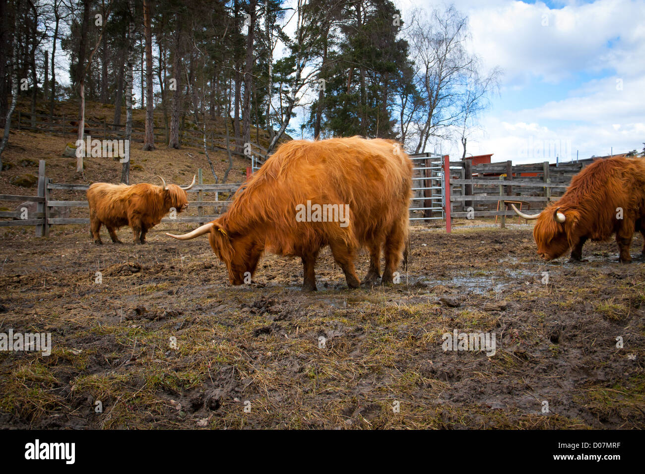 Some long horned cows eating on a field - Stock Image