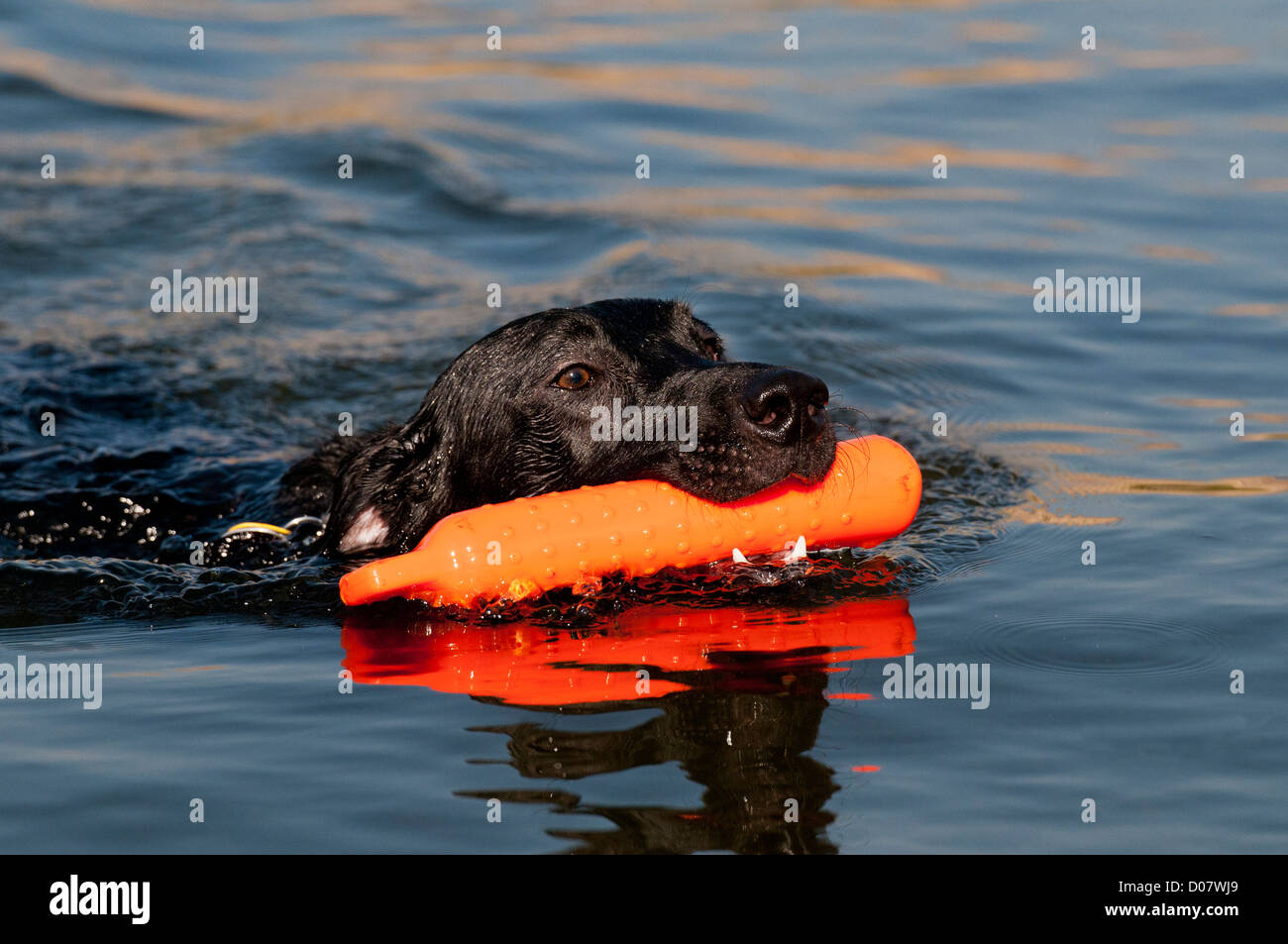 Black Labrador retriever retrieving training bumper Stock Photo