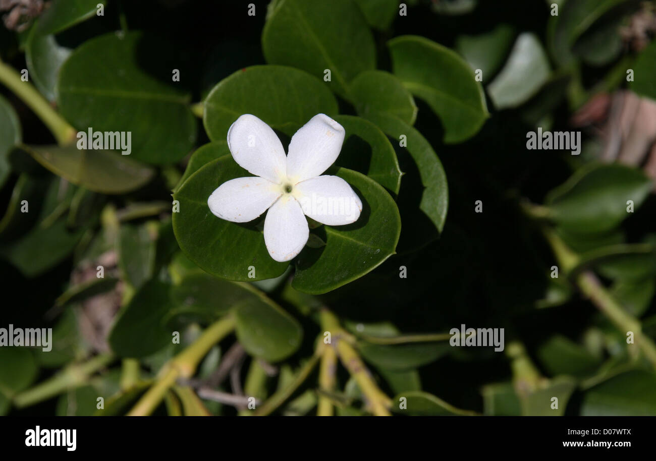 Jasmine Flower Stock Photos Jasmine Flower Stock Images Alamy