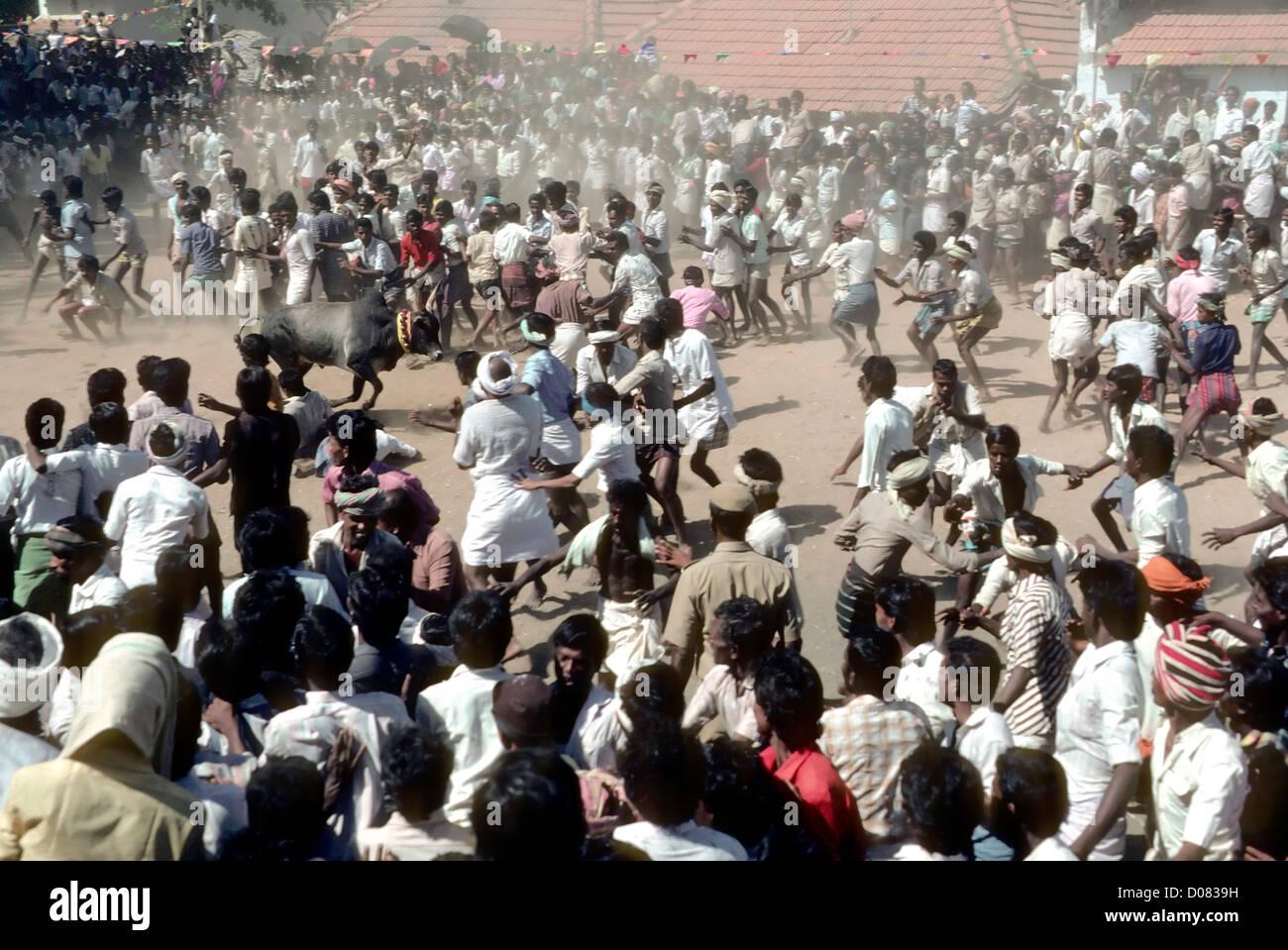 Jallikattu;Bull taming at Chatharappatti near Madurai,Tamil Nadu,India. - Stock Image