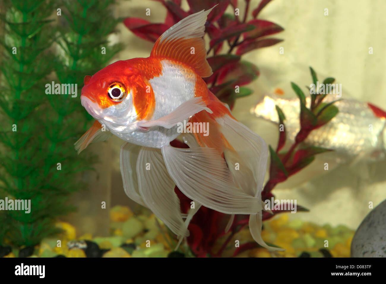 Oranda Goldfish Stock Photos & Oranda Goldfish Stock Images