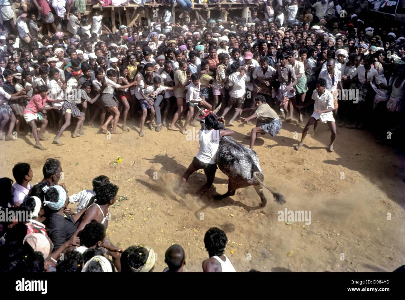 Jallikattu;Bull taming at Alanganallur near Madurai,Tamil Nadu,India - Stock Image