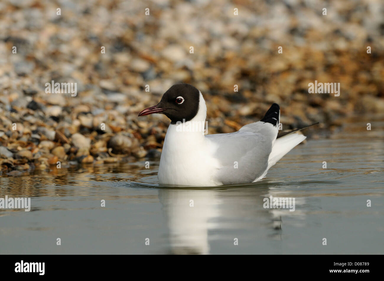 Black-headed Gull (Larus ridibundus) swimming on water, Holland, May - Stock Image