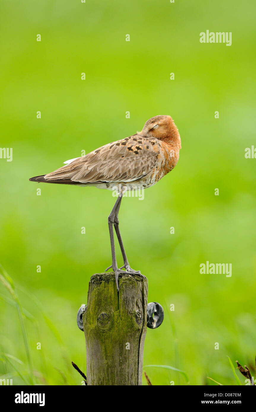 Black-tailed Godwit (Limosa limosa) roosting on fence post, Holland, May - Stock Image