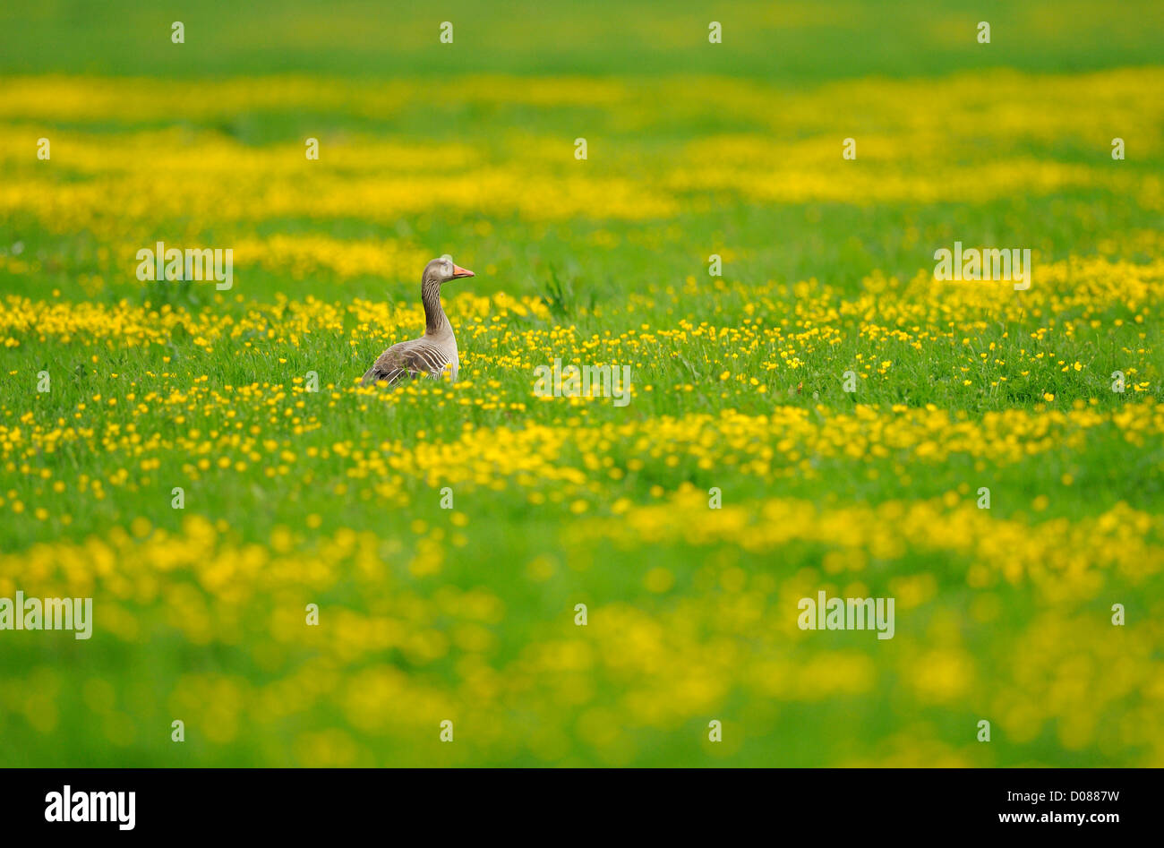 Greylag Goose (Anser anser) standing in field of buttercups, Holland, May - Stock Image