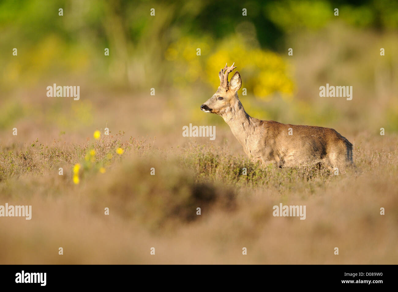 Western Roe Deer (Capreolus capreolus) male standing amongst heather, Holland, May - Stock Image
