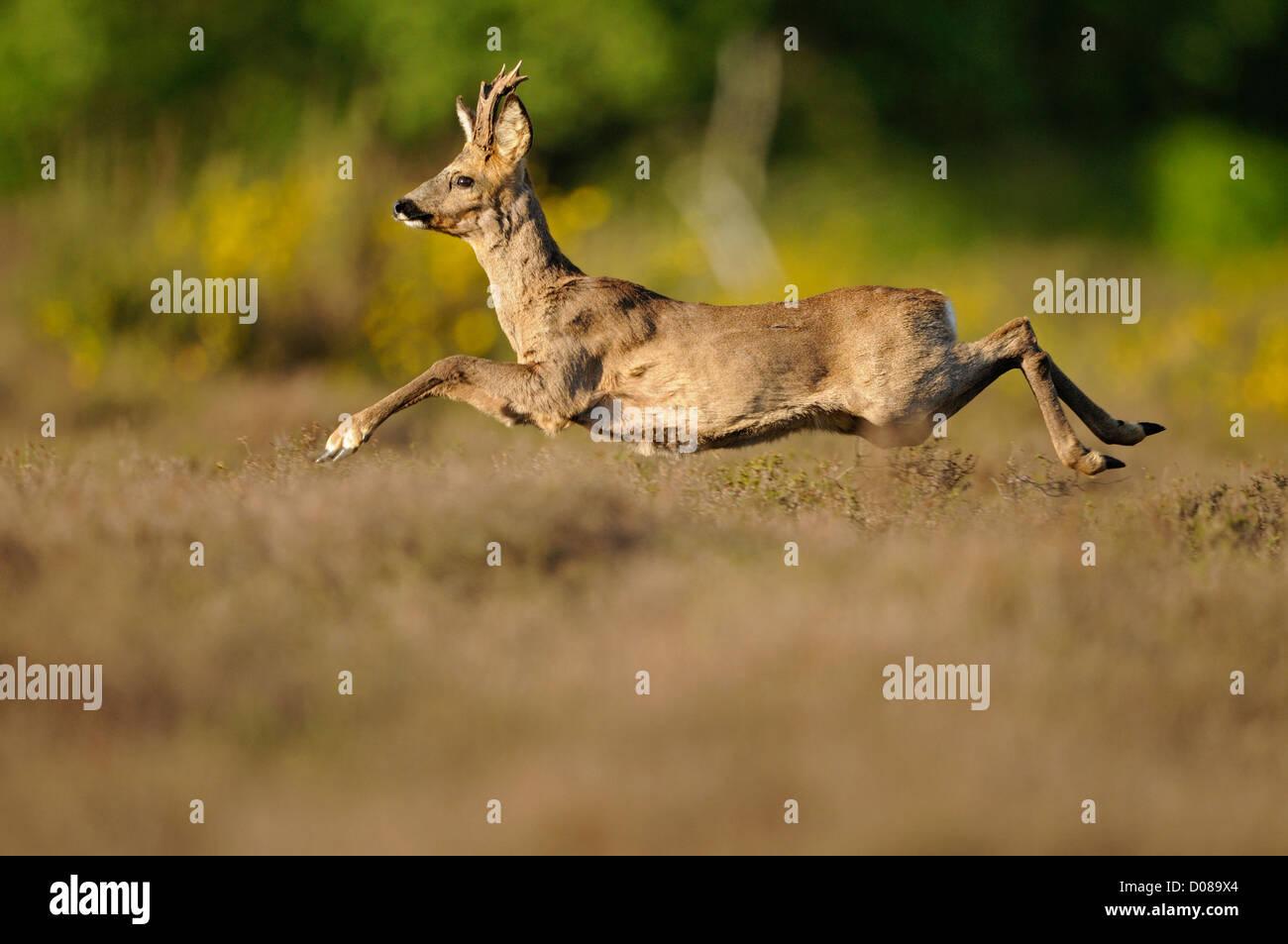 Western Roe Deer (Capreolus capreolus) male running through heather, Holland, May - Stock Image