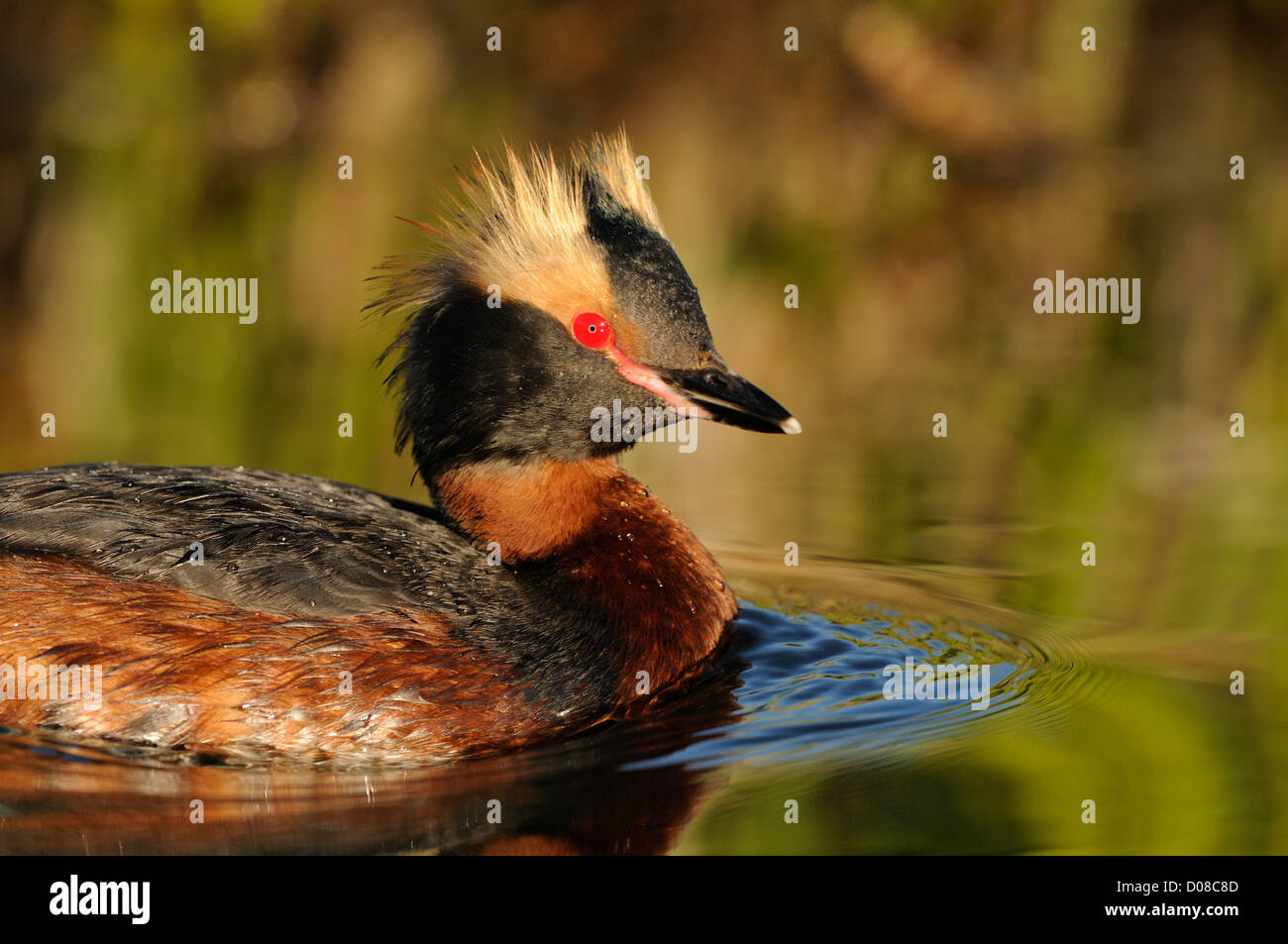 Slavonian or Horned Grebe (Podiceps auritus) in summer breeding plumage, swimming, Icekand, June - Stock Image