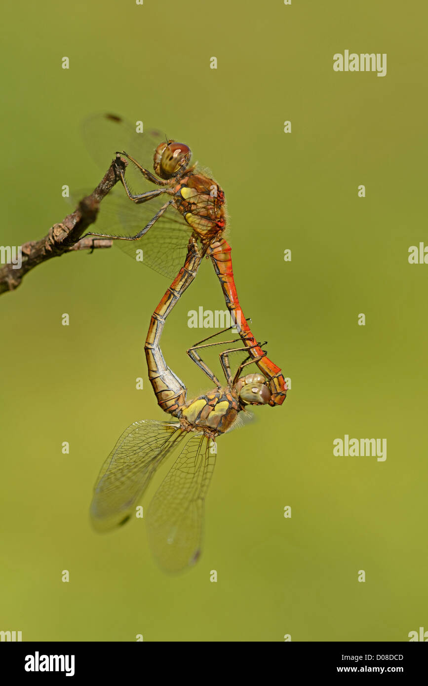 Common Darter Dragonfly (Sympetrum striolatum) mating pair in wheel position, Oxfordshire, England, September - Stock Image