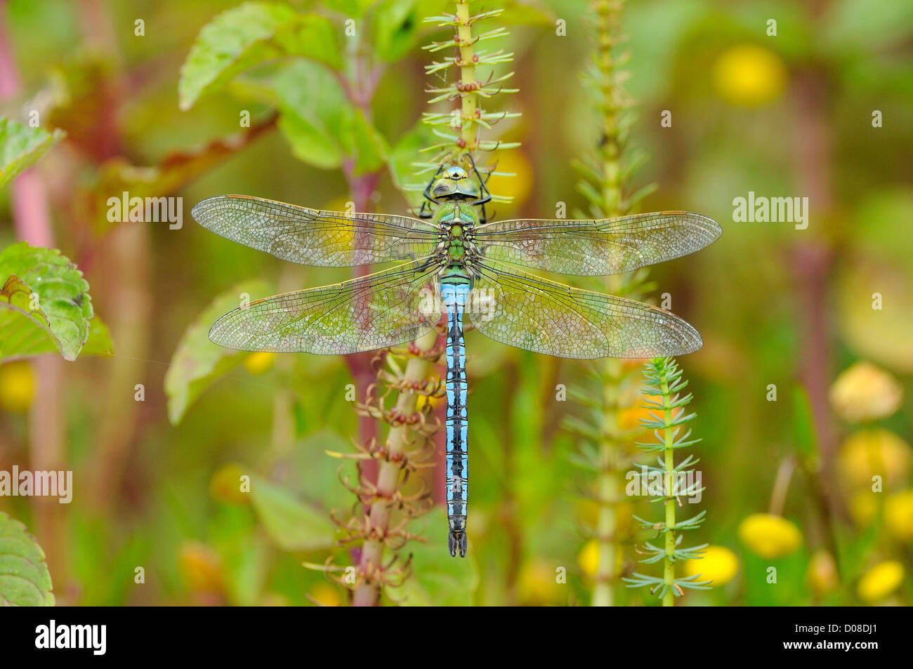 Emperor Dragonfly (Anax imperator) male at rest on aquatic vegetation, Oxfordshire, England, June - Stock Image