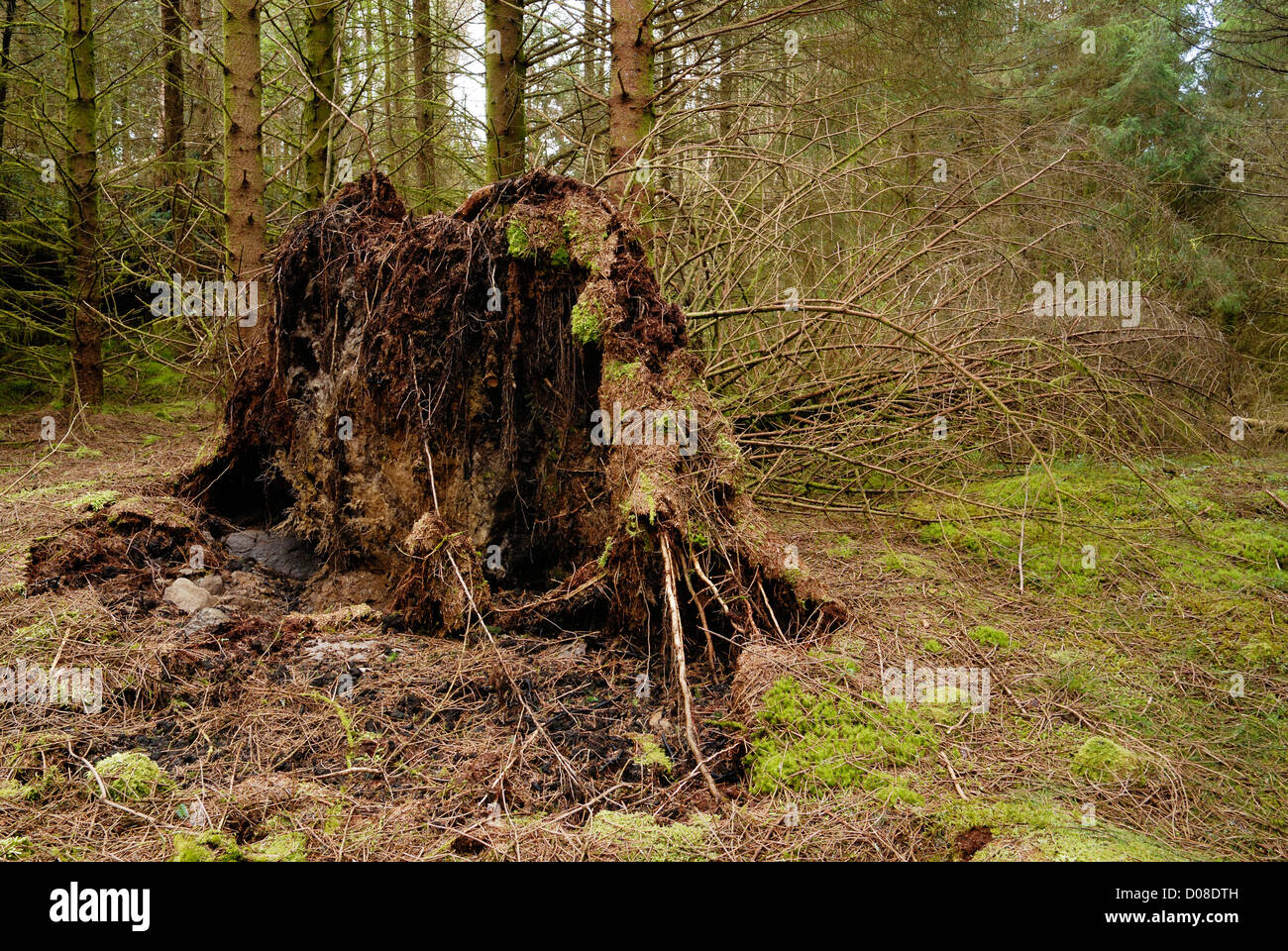 Pine tree blown over by wind due to stony soil not allowing roots to grow down into the earth. Stock Photo