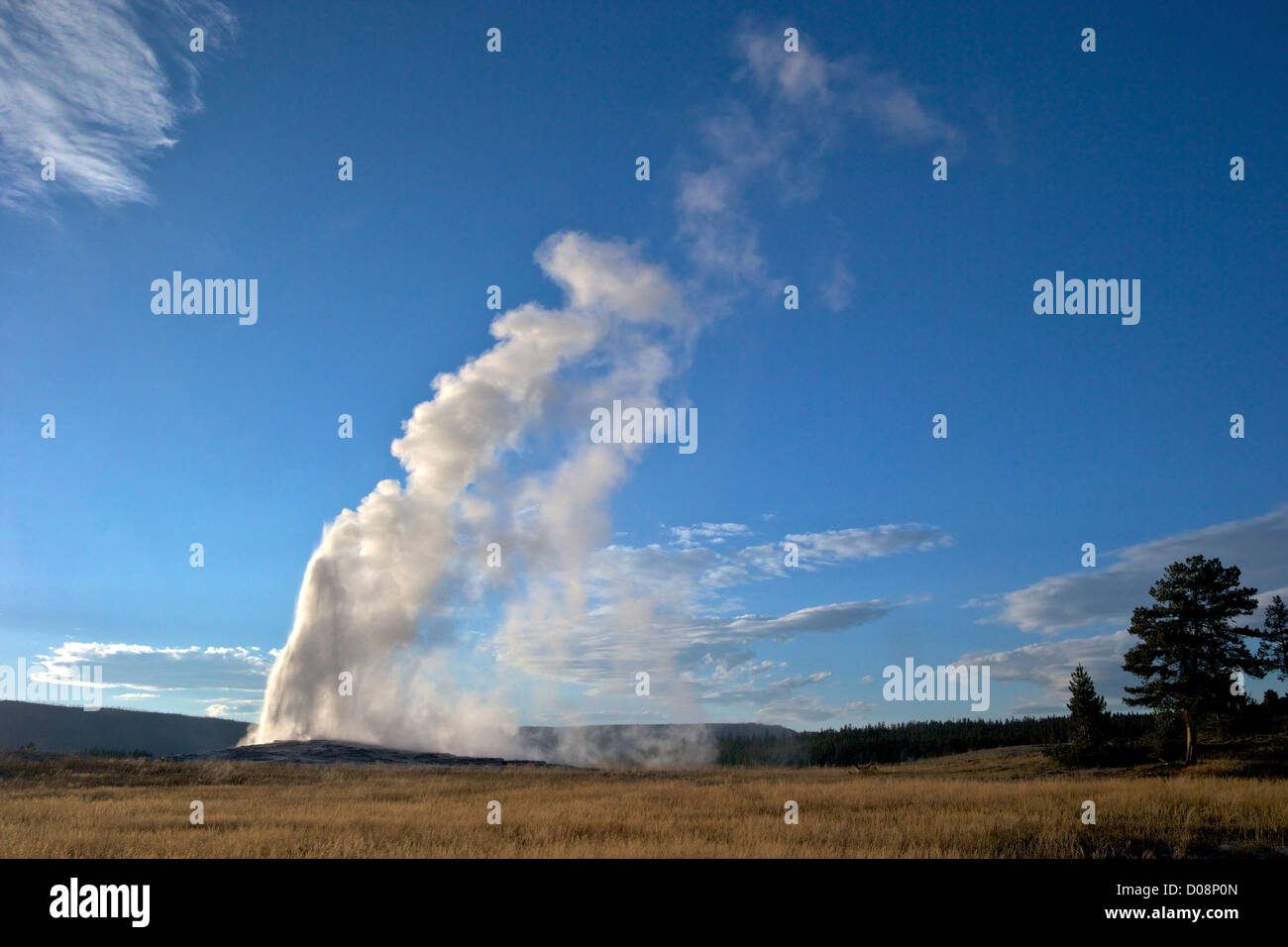 Old Faithful Geyser erupting in summer evening light, Yellowstone National Park, Wyoming, USA Stock Photo