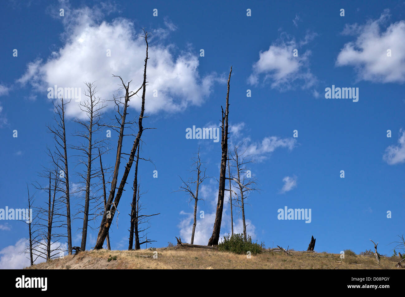 Dead trunks of Lodgepole Pines, Yellowstone National Park, Wyoming, USA - Stock Image