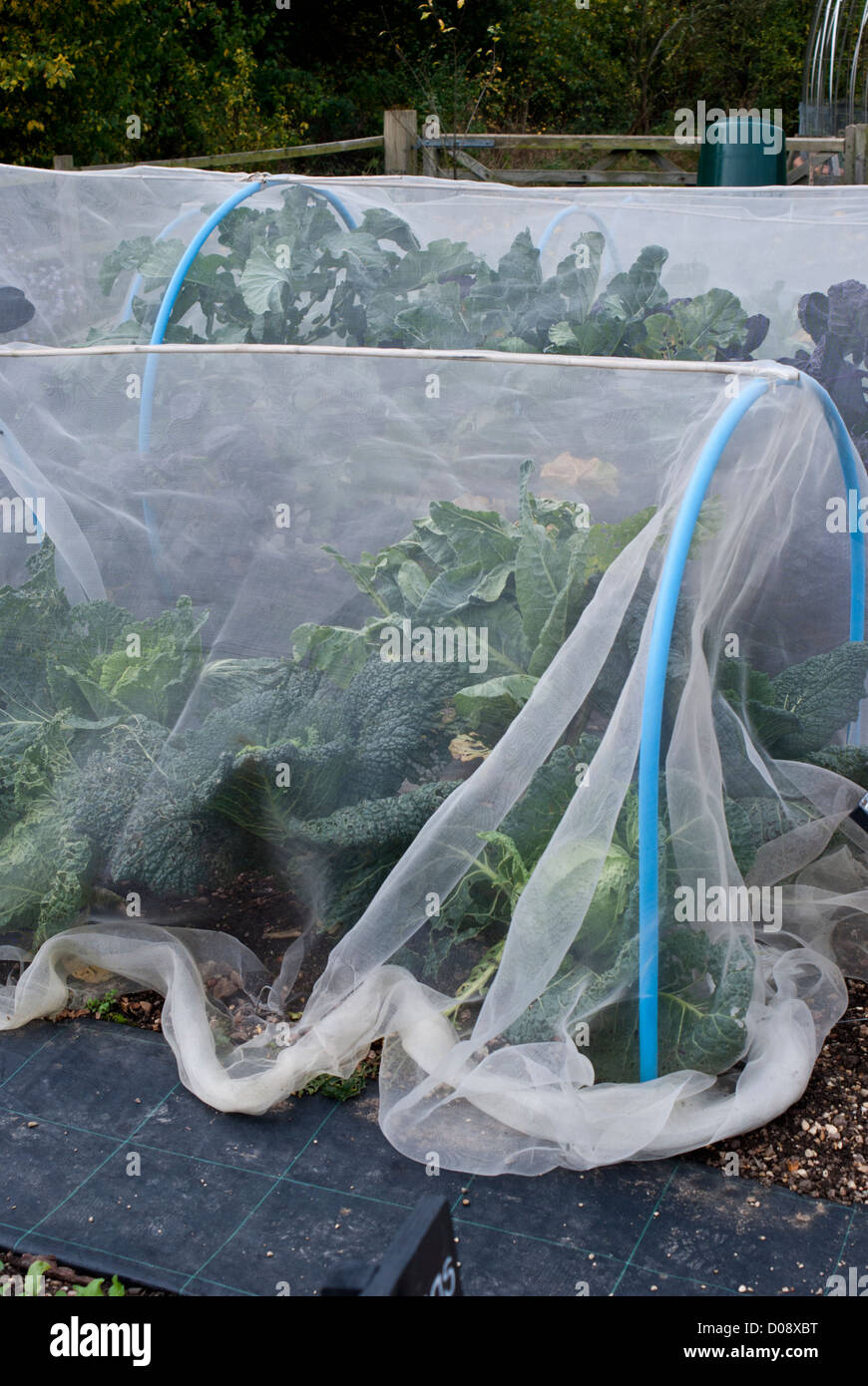 Garden fleece being used as frost protection on an allotment - Stock Image