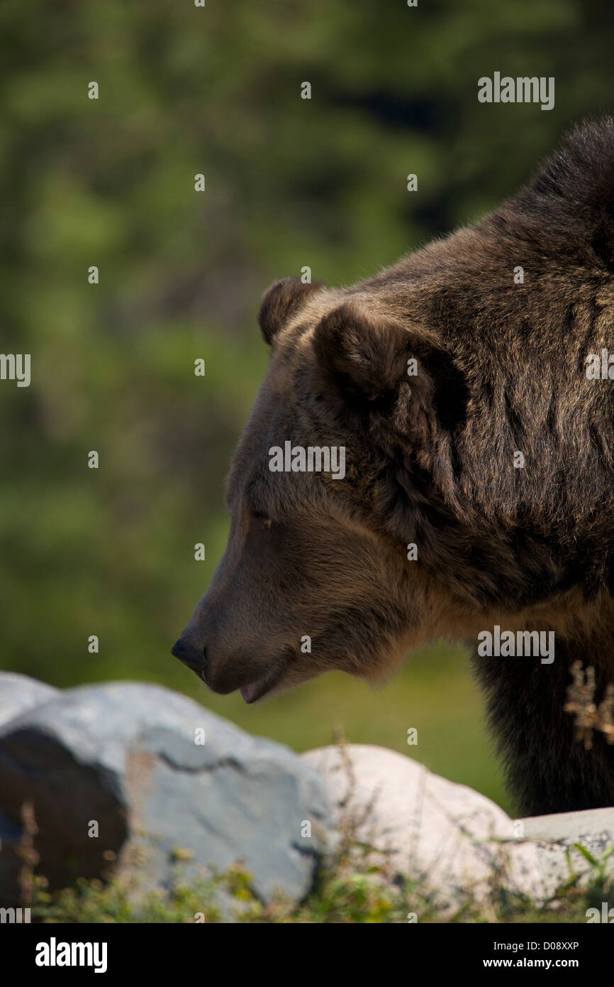 Grizzly bear, Ursus arctos horribilis, Grizzly and Wolf Discovery Centre, West Yellowstone, Montana, USA - Stock Image
