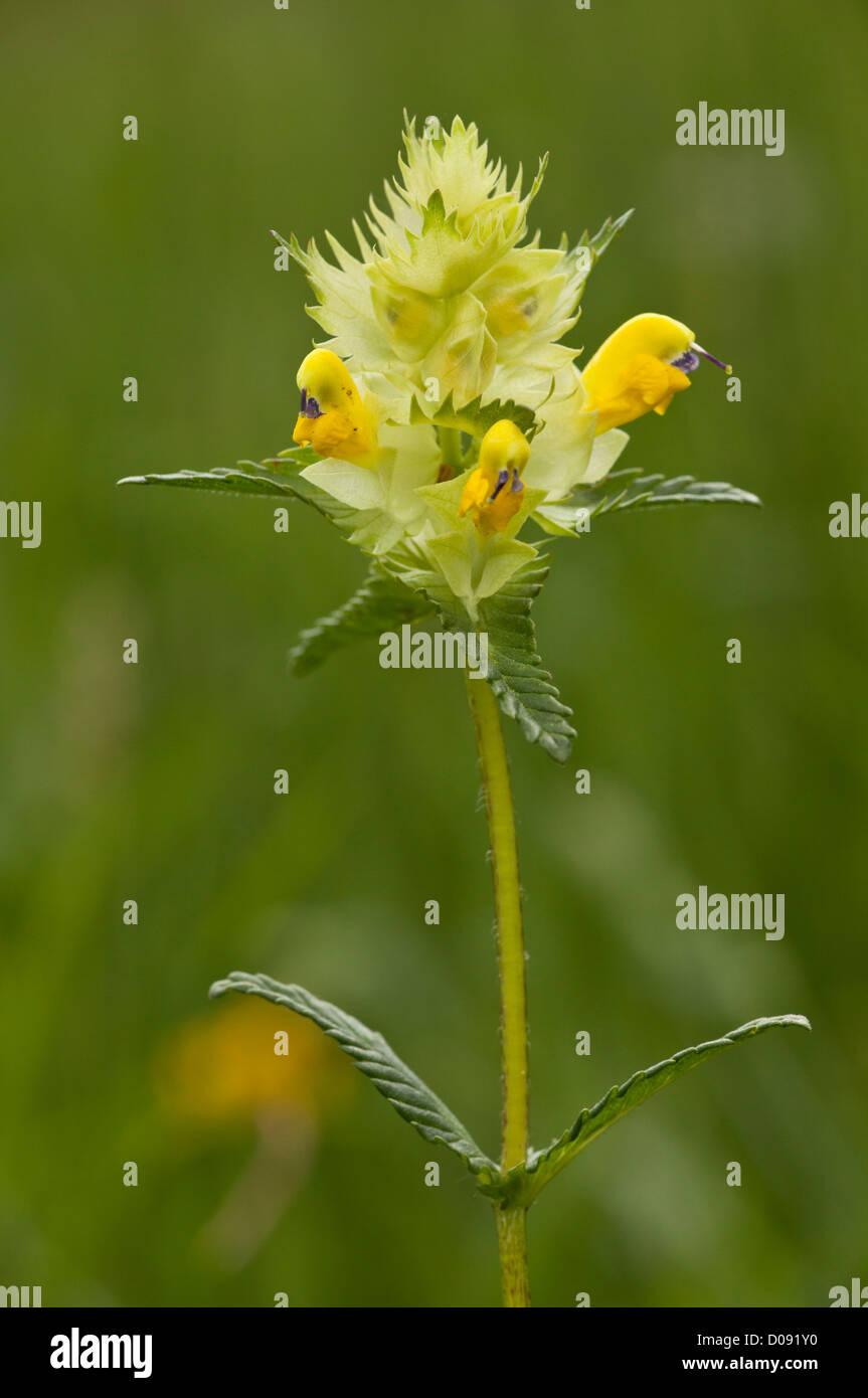 Greater Yellow Rattle Rhinanthus Angustifolius In Flower Stock