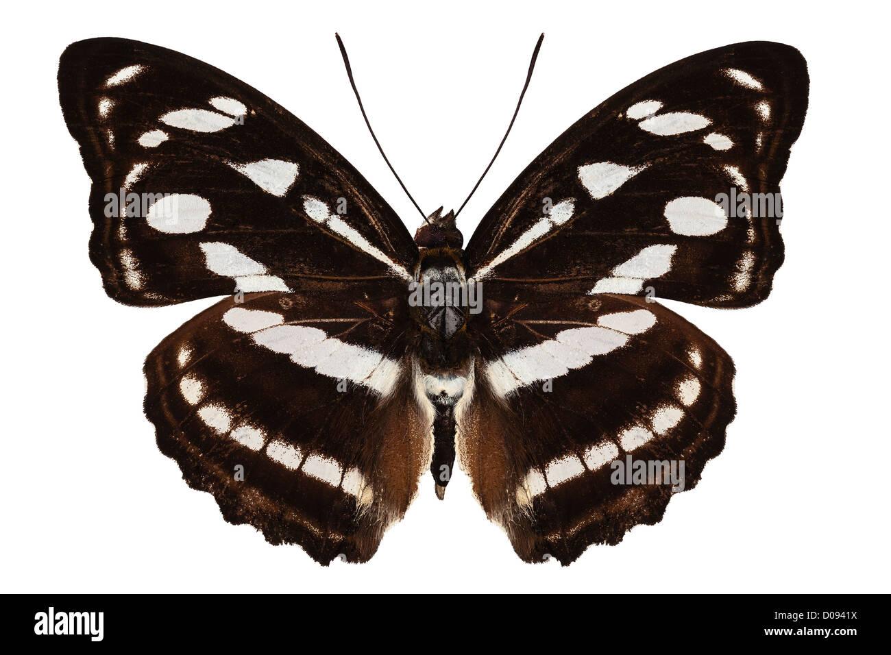butterfly species Athyma reta moorei - Stock Image