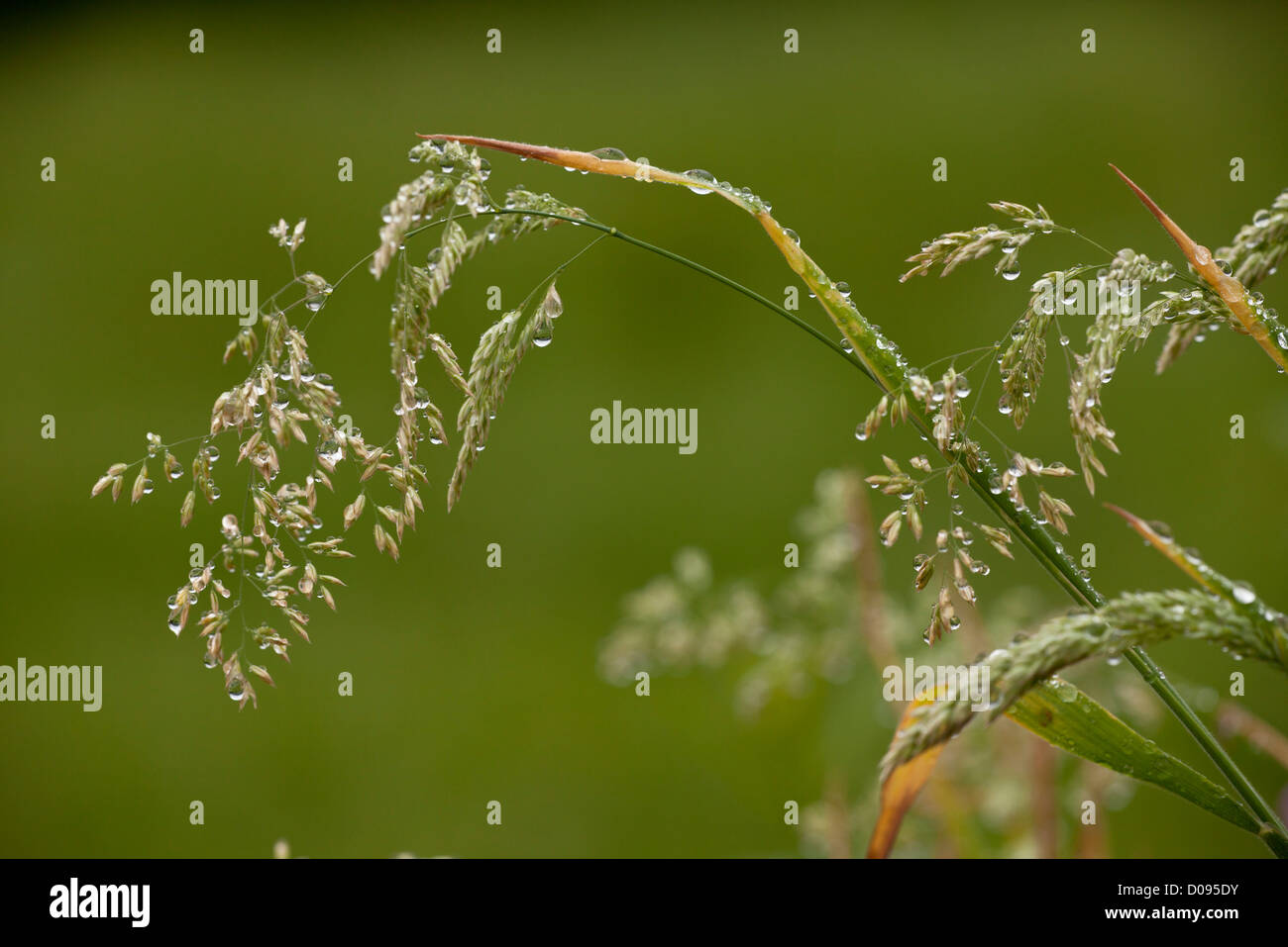 Grasses, mainly Yorkshire-fog (Holcus lanatus) in flower after rain, close-up, in summertime Stock Photo