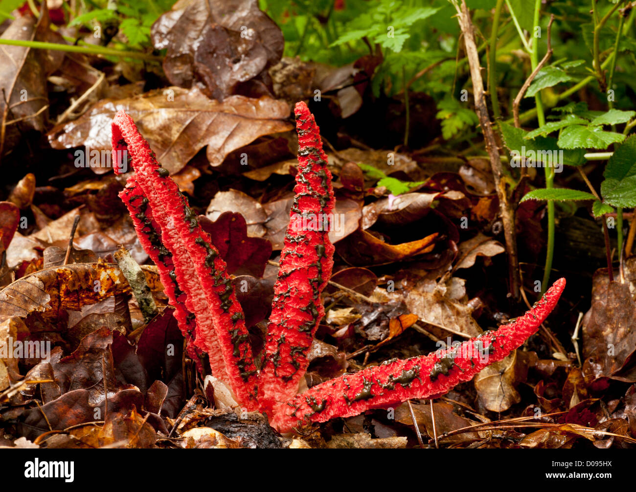 Octopus stinkhorn (Clathrus archeri) close-up. Fungus, introduced from Australia, naturalised in Europe Stock Photo
