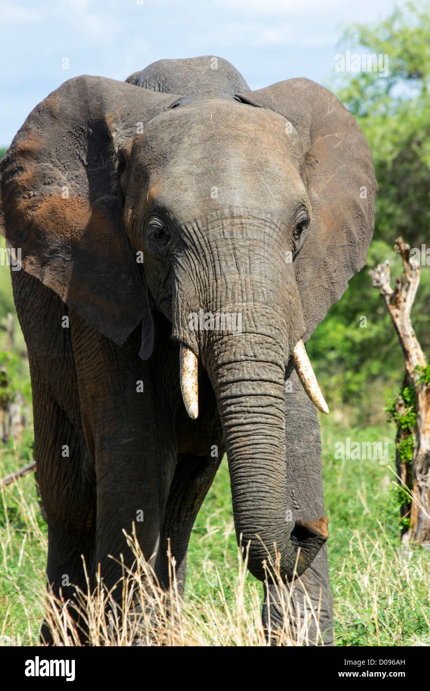 Elephant, Tarangire National Park, Tanzania, Africa - Stock Image