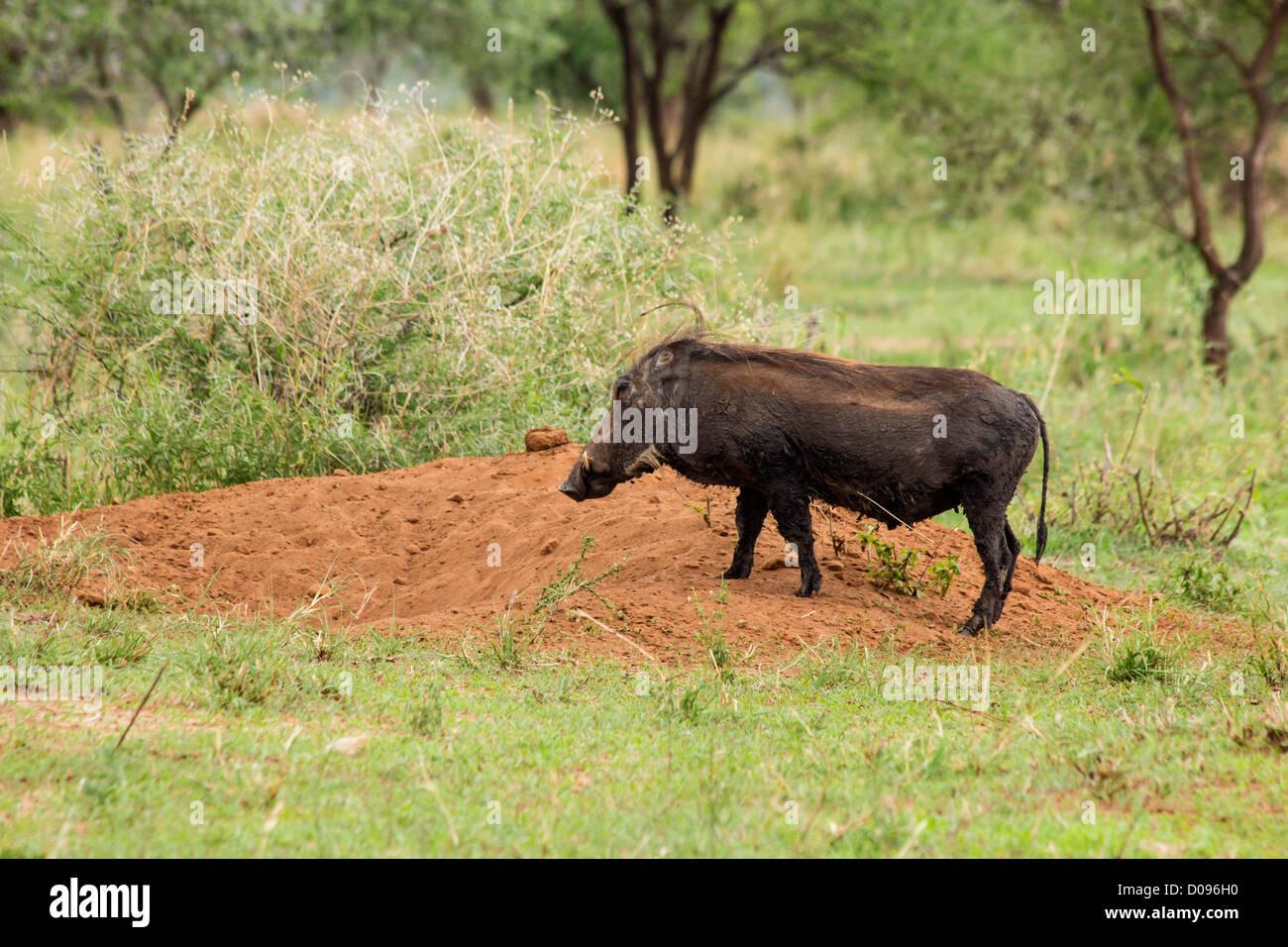 Warthog with piglets, Tarangire National Park, Tanzania, Africa - Stock Image