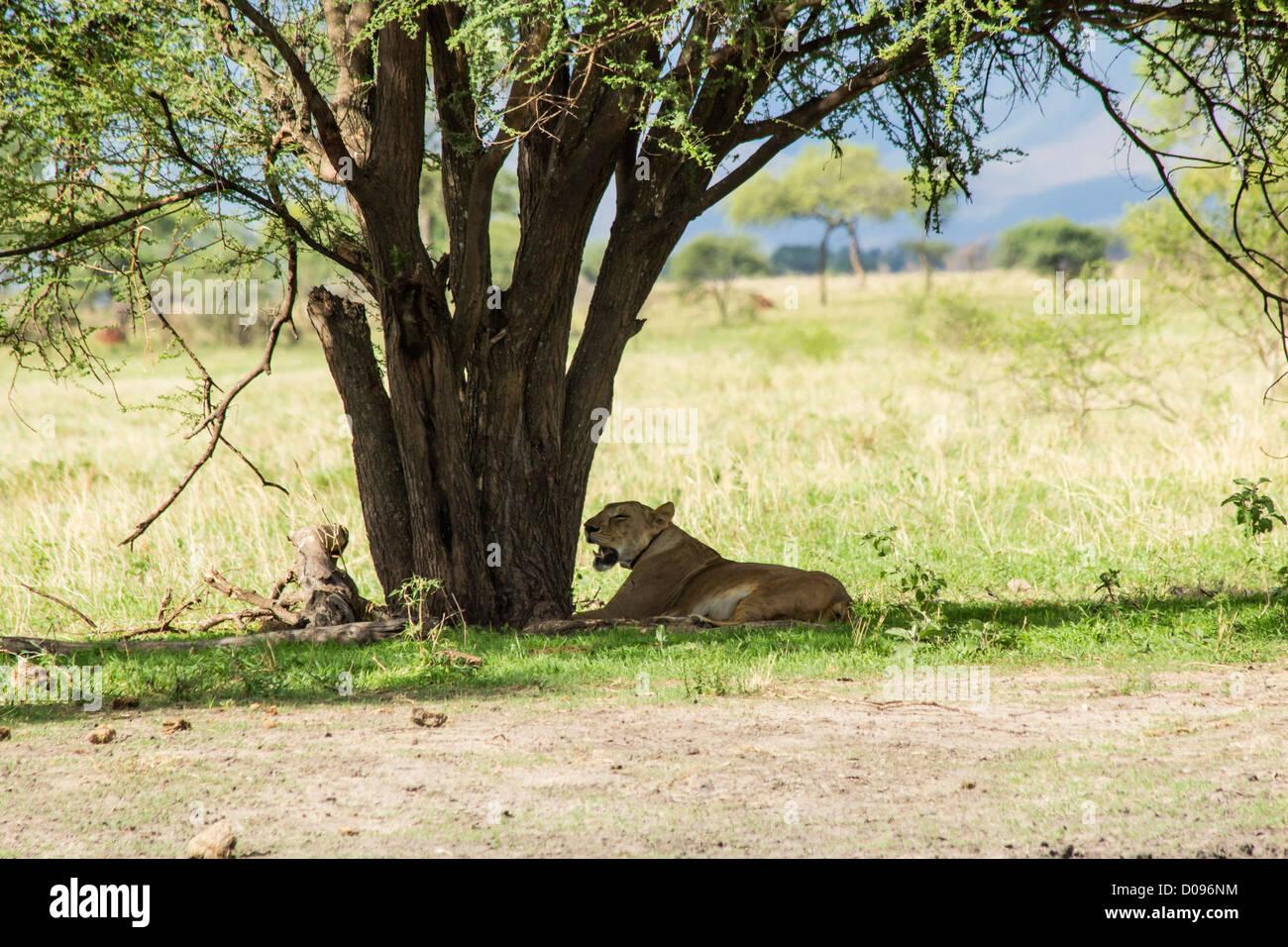 African female lion, Tarangire National Park, Tanzania, Africa - Stock Image