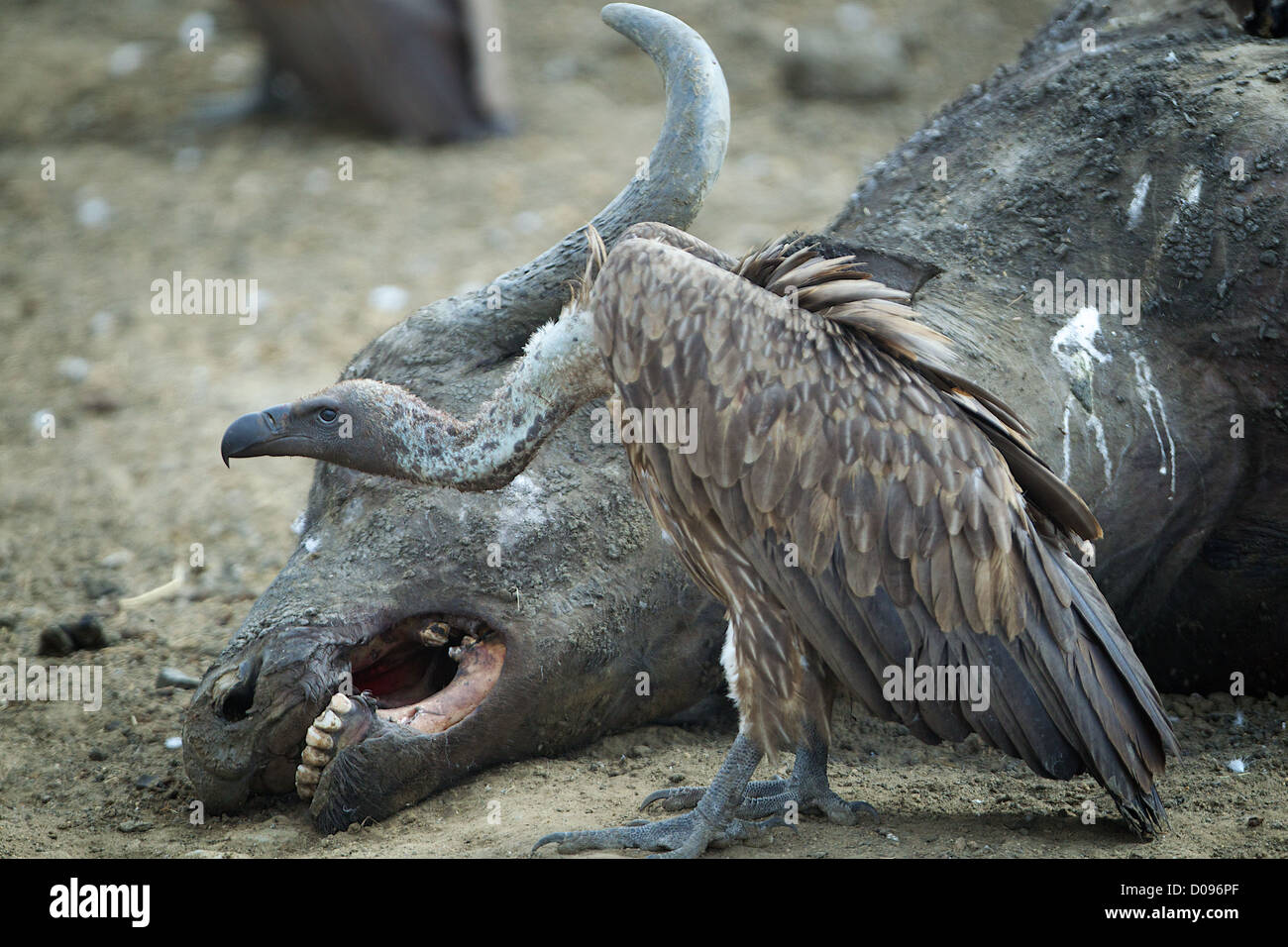 Vulture and Cape buffalo carcass  Mikumi Game reserve . Southern Tanzania. Africa - Stock Image
