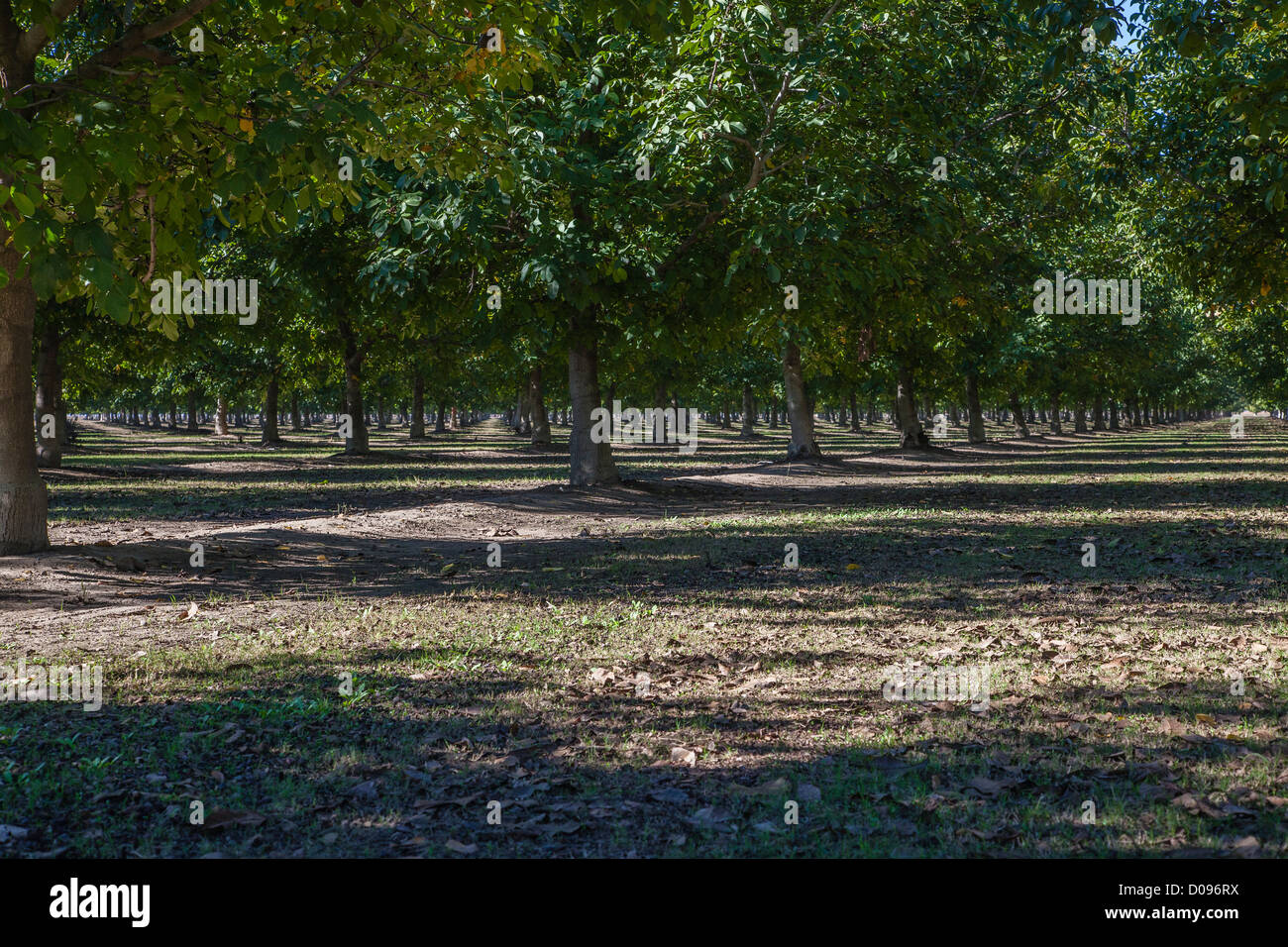 Rows of walnut trees in a walnut orchard in Colusa County, California. - Stock Image