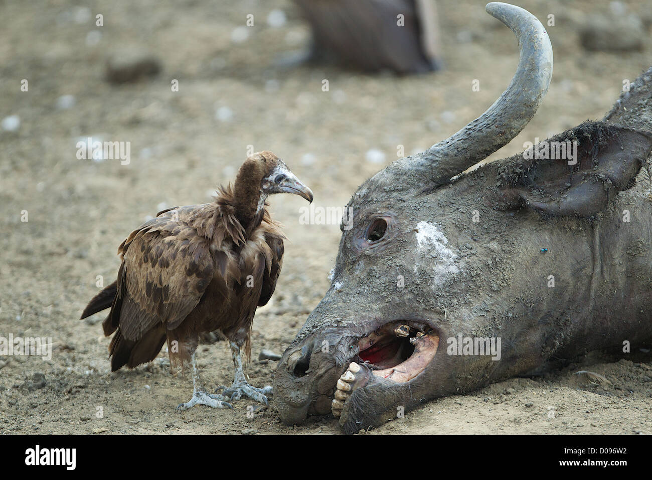 Vulture looks into eye socket of Cape buffalo carcass  Mikumi Game reserve . Southern Tanzania. Africa - Stock Image