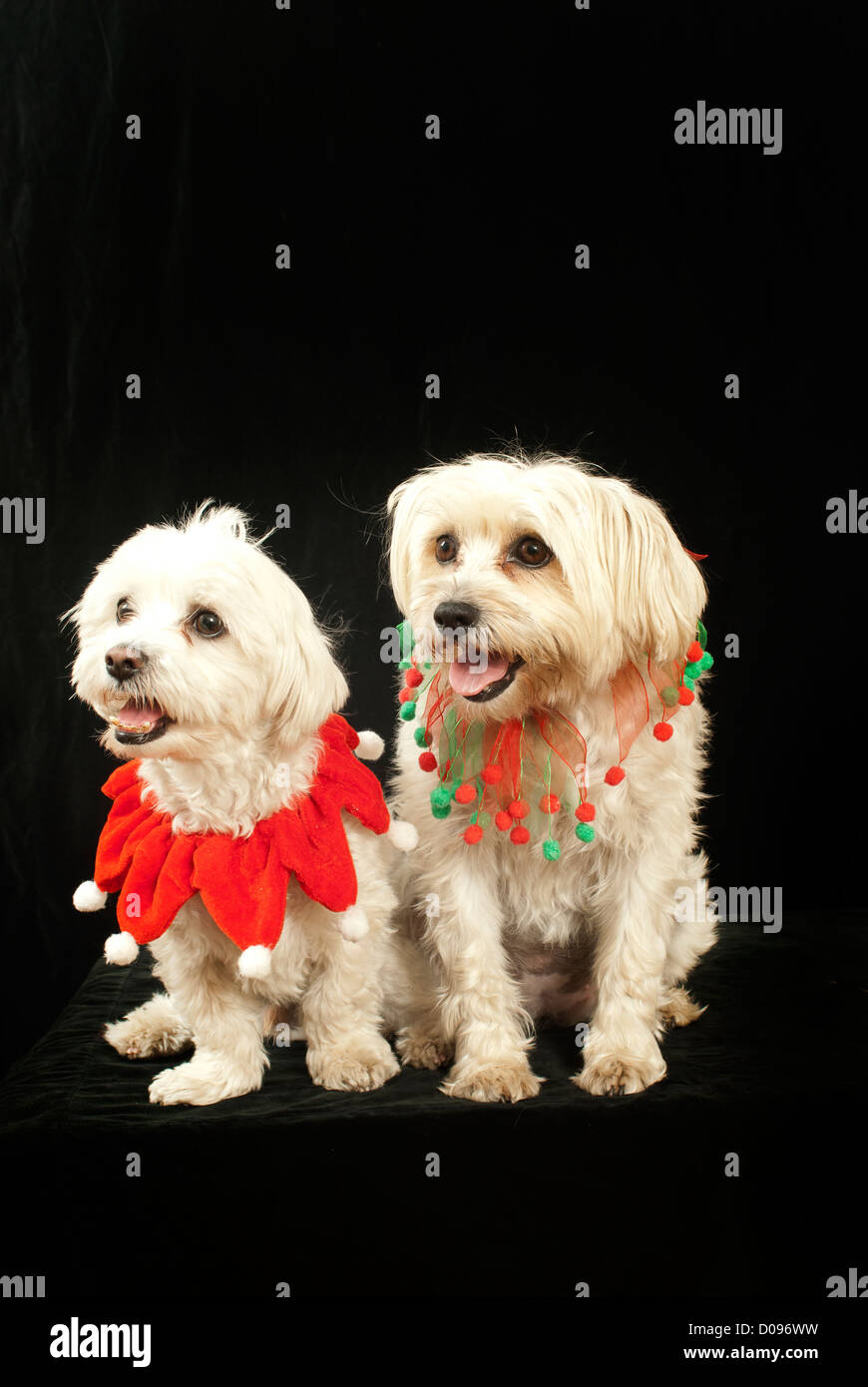 two small dogs with chrismas scarf, small, cute, adorable, - Stock Image