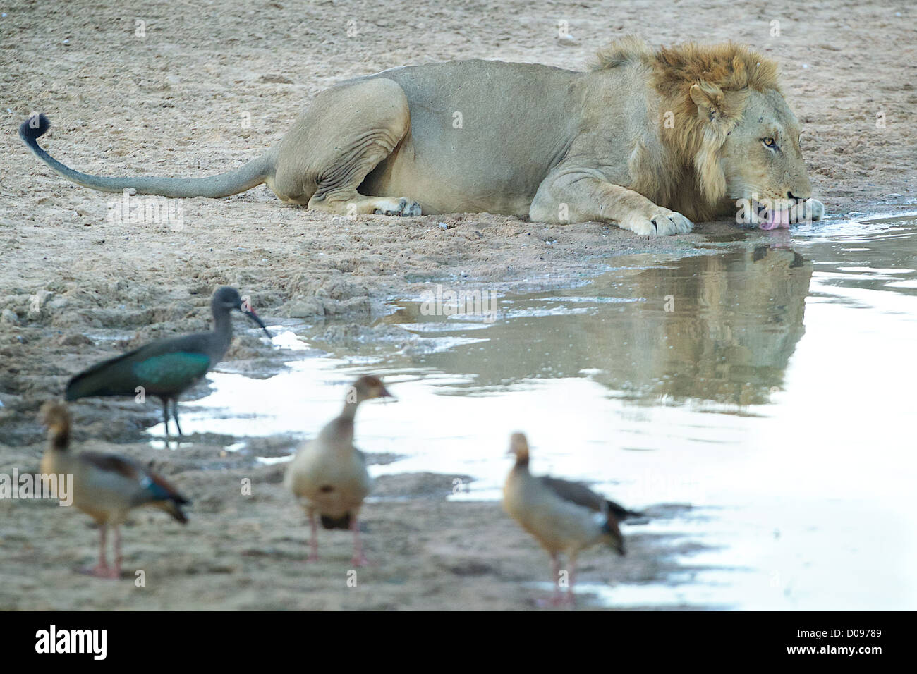 Male African Lion drinking  Panthera leo  in Mikumi Game reserve . Southern Tanzania. - Stock Image