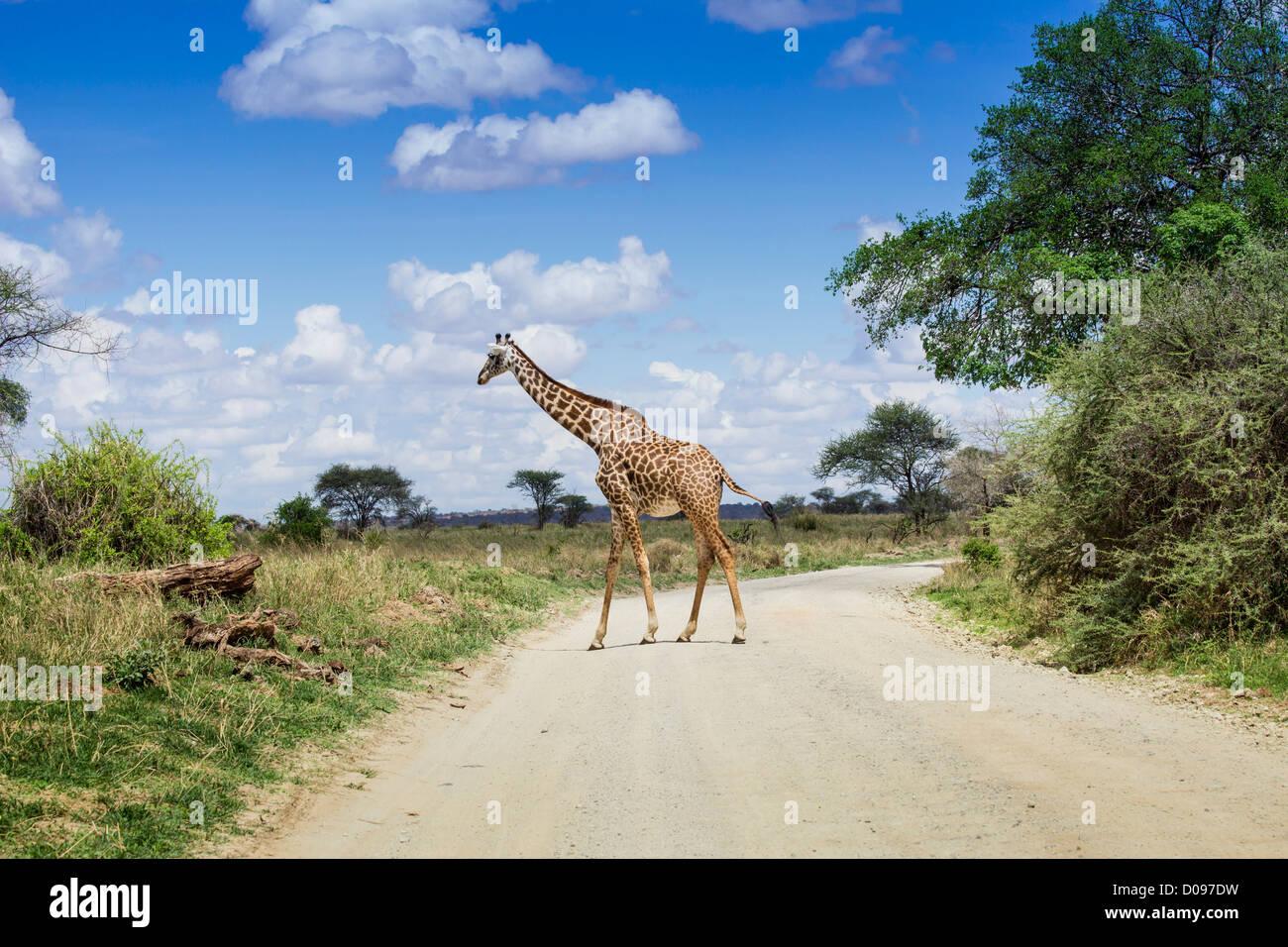 Giraffe in Tarangire National Park, Tanzania, Africa - Stock Image