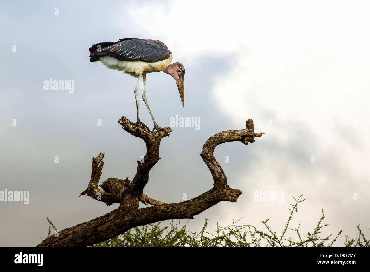 Marabou Stork, Tarangire National Park, Tanzania, Africa - Stock Image
