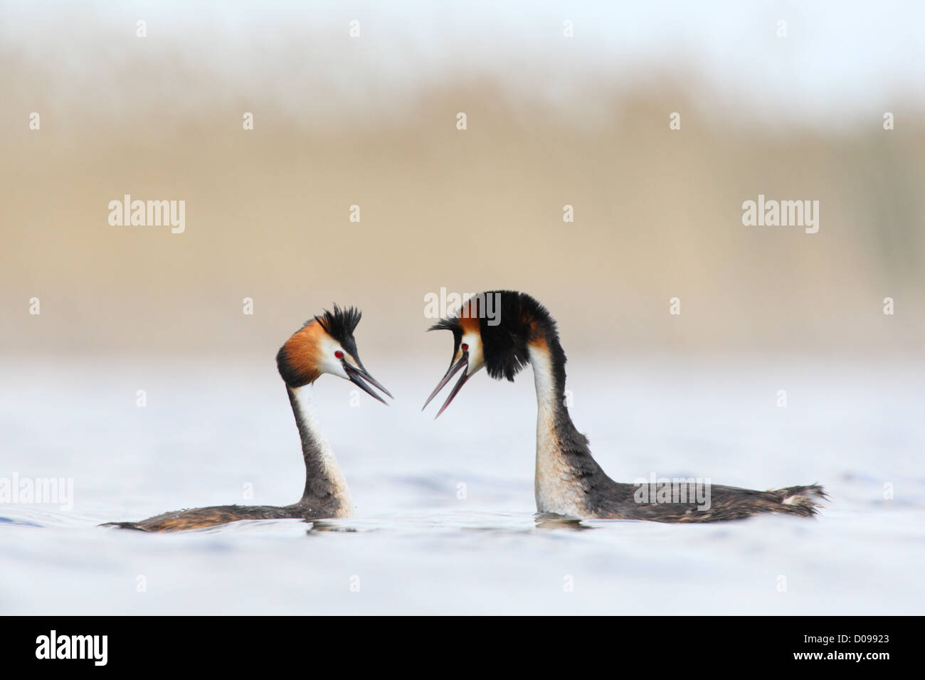 Great Crested Grebes (Podiceps cristatus) in courtship display. Europe - Stock Image