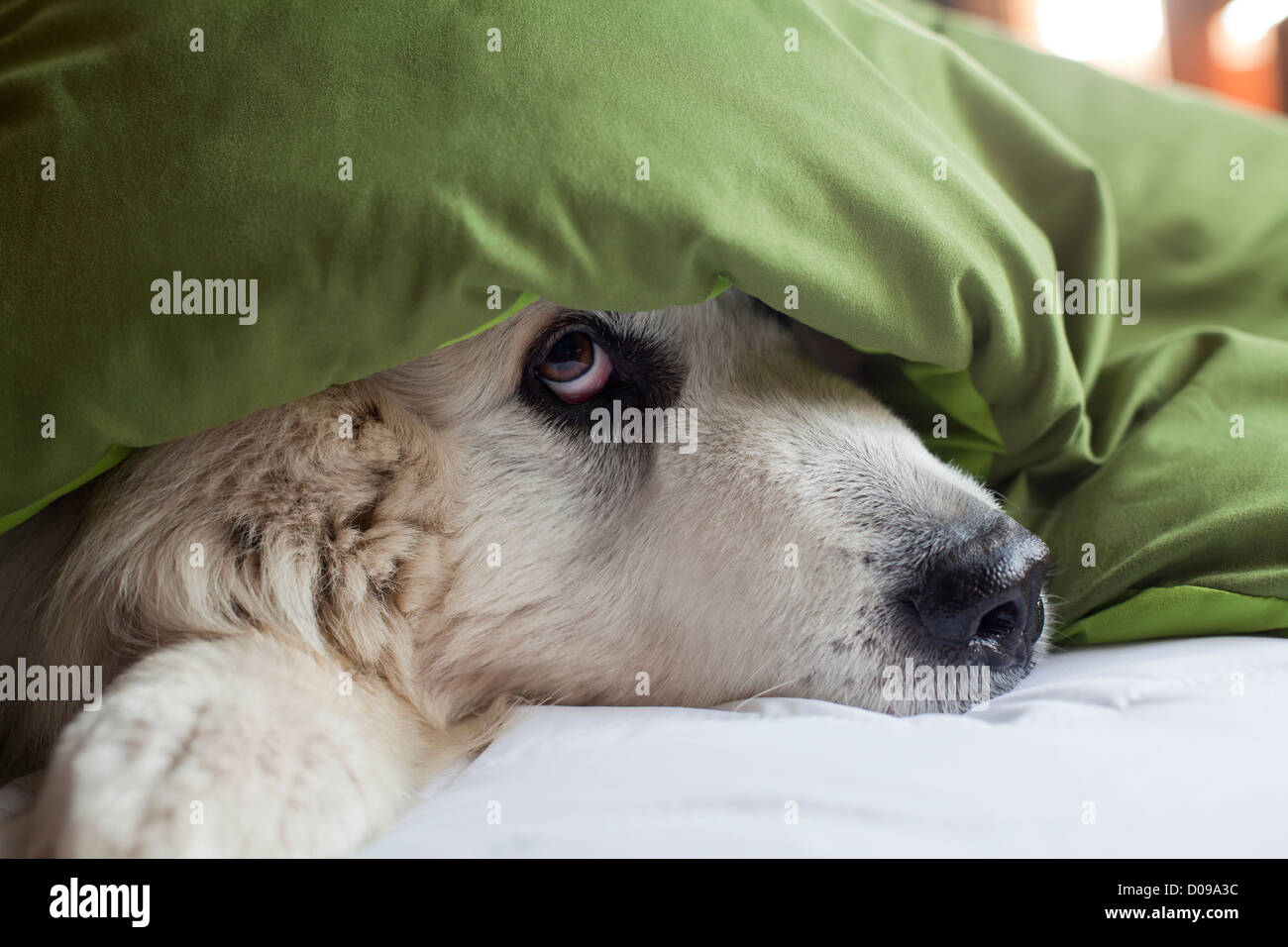Great Pyrenees dog peeking out from under blanket on bed. - Stock Image